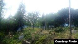 Вырубка реликтовых насаждений в Крыму