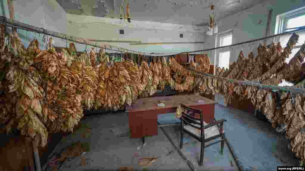 Листья табака нового урожая теперь сушатся в бывшем кабинете директора станции табаководства
