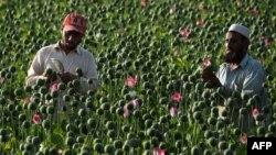 Маковые поля в Афганистане