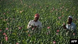 Afghan farmers harvest opium sap from a poppy field in the Chaparhar district of Nangarhar Province in April 19.