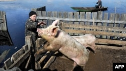 Belarus -- A man touches his pigs during spring flood in a village of Snyadin, 09Apr2013
