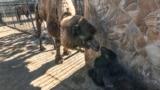 В сафари-парке «Тайган» родились верблюжата (видео)