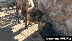 Верблюженок в сафари-парке «Тайган»
