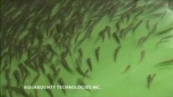 В США разрешили есть генномодифицированного лосося