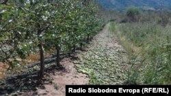 Јаболкници погодени од невремето во Преспа
