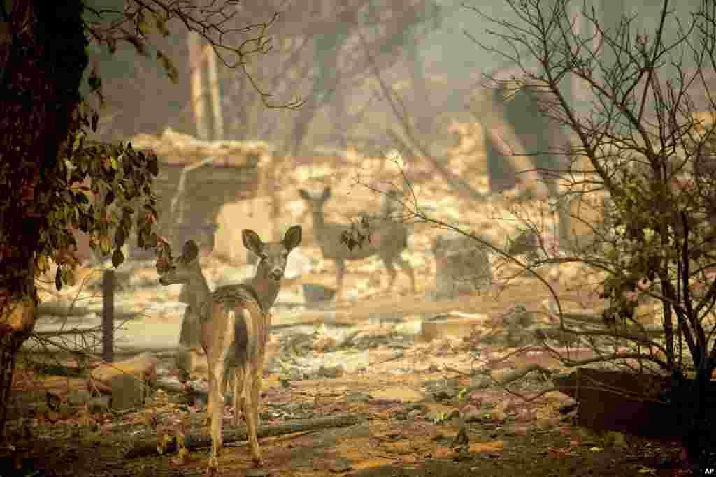 Олени на выгоревшей территории.