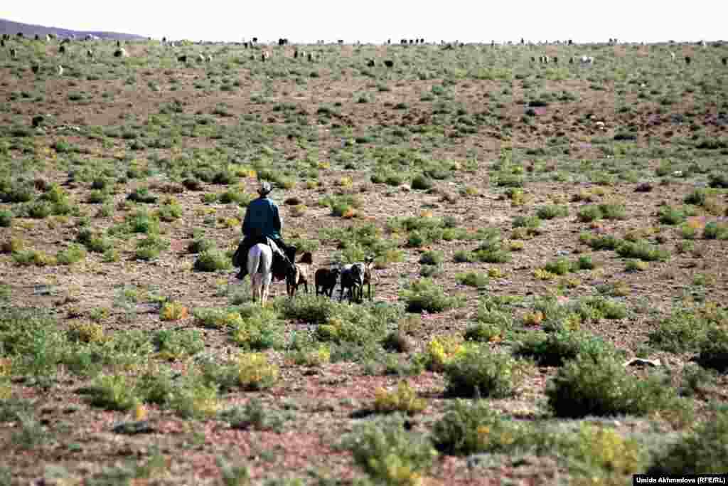 Чабан верхом на лошади на выпасе овец недалеко от села Рахат.