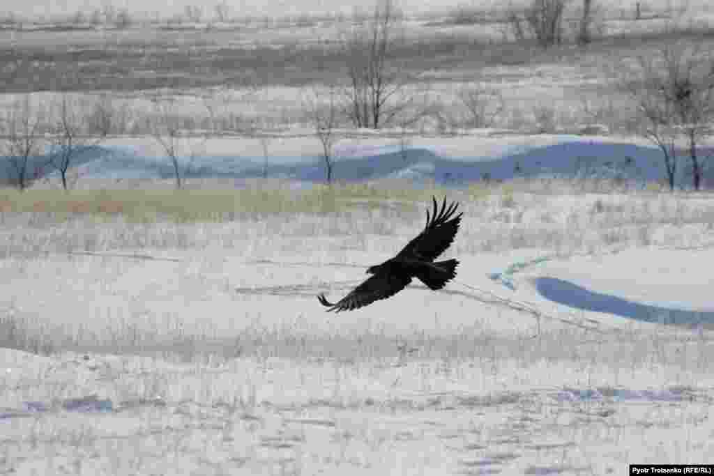 A golden eagle in flight