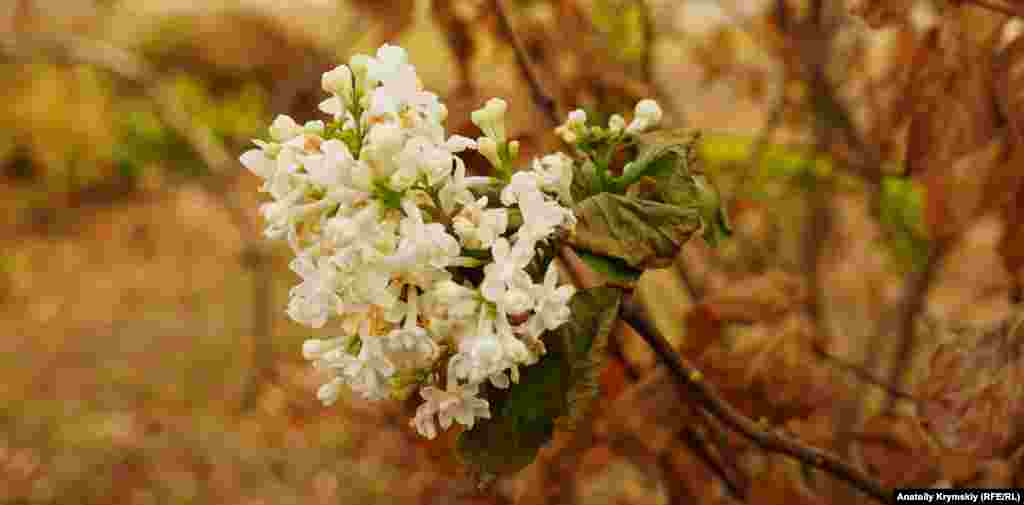 Біля будинку Сергія Івановича зацвів білий бузок, але потім його листя раптово почало засихати