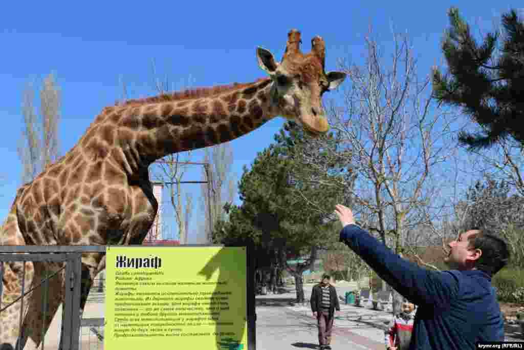Жирафа можно покормить с рук