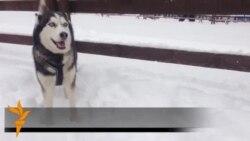 Sibirski Husky u trci za ¨Zlatne saonice¨