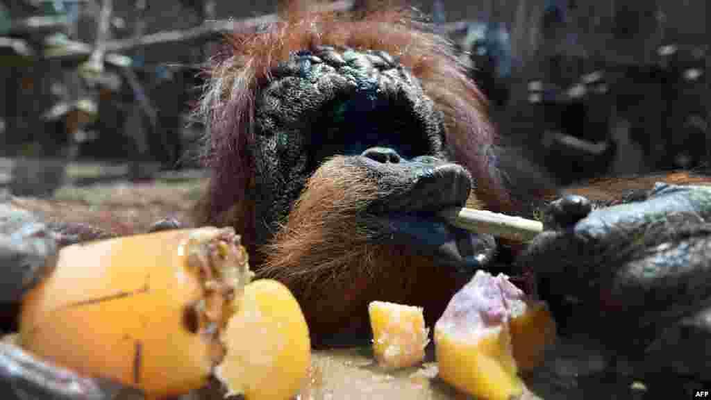 Ыстықтан қаталаған хайуандарға мұздатылған жеміс пен ет беріп алдаусыратады. Суретте: Италия зоопаркіндегі орангутан.