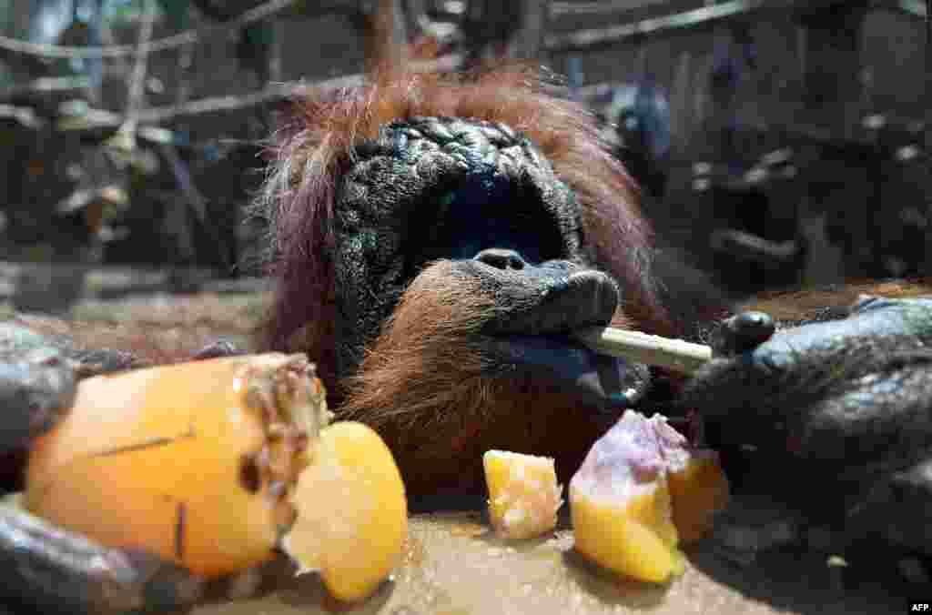 У животных специальный рацион: замороженые фрукты и мясо.На фото - орангутан из зоопарка в Италии.