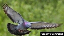 "Летящий голубь. <a href = ""http://en.wikipedia.org/wiki/Image:Rock_dove_-_natures_pics.jpg"" target=_blank>Wikipedia. Creative Commons.</a>"