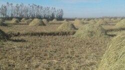 Пахта планини бажармаётган фермерлар шолиси тортиб олиняпти