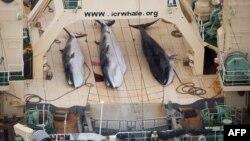 Попри заборону на забій китів, Японія вбиває близько 450 морських ссавців щороку нібито з метою наукових досліджень