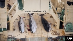 "Three dead minke whales on the deck of the Japanese factory ship ""Nisshin Maru,"" which was conducting ""scientific research"" inside a Southern Ocean sanctuary in January."