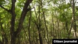 Fındıq ağacları