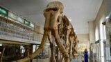 В 1960-е в Ставропольском крае в Георгиевском карьере нашли отлично сохранившийся скелет. Слона жители Ставрополя назвали Архипом, намекая на его древнее происхождение.Южный слон, или Южный мамонт, обитал на Кавказе, в других регионах Евразии, а также на территории Северной Америки 2,6-0,7 миллиона лет назад.