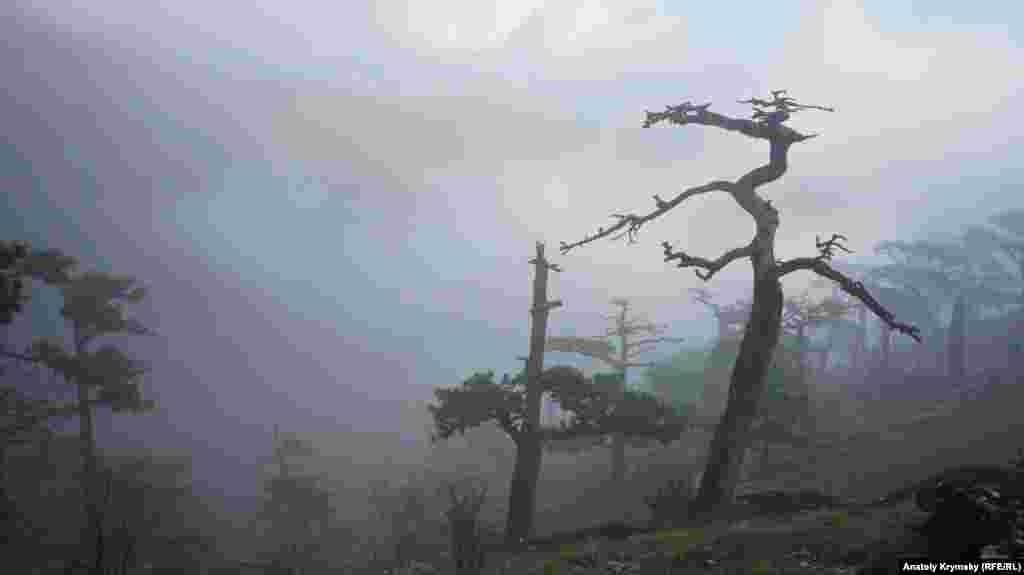 Пошкоджені лісовими пожежами сосни Ялтинського гірничо-лісового природного заповідника