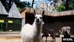 «Bəzən zooparka əhliləşdirilmiş heyvanları gətirirlər»