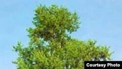 У тополя, и у маленького однолетнего сорняка арабидопсиса цветение управляется одним и тем же набором генов.