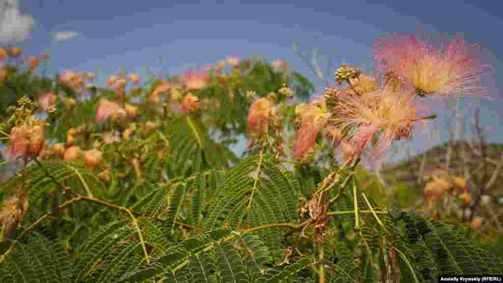 Пышно цветет нынче в Приветном акация ленкоранская