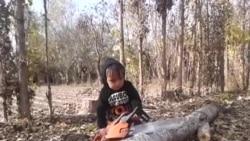 Дарахтбурии кӯдаки тоҷик
