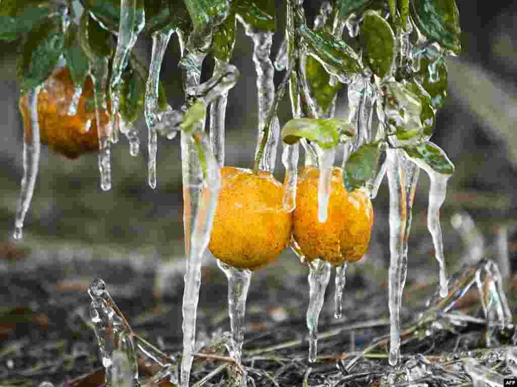 Небывалые холода во Флориде наносят ущерб урожаю и диким животным