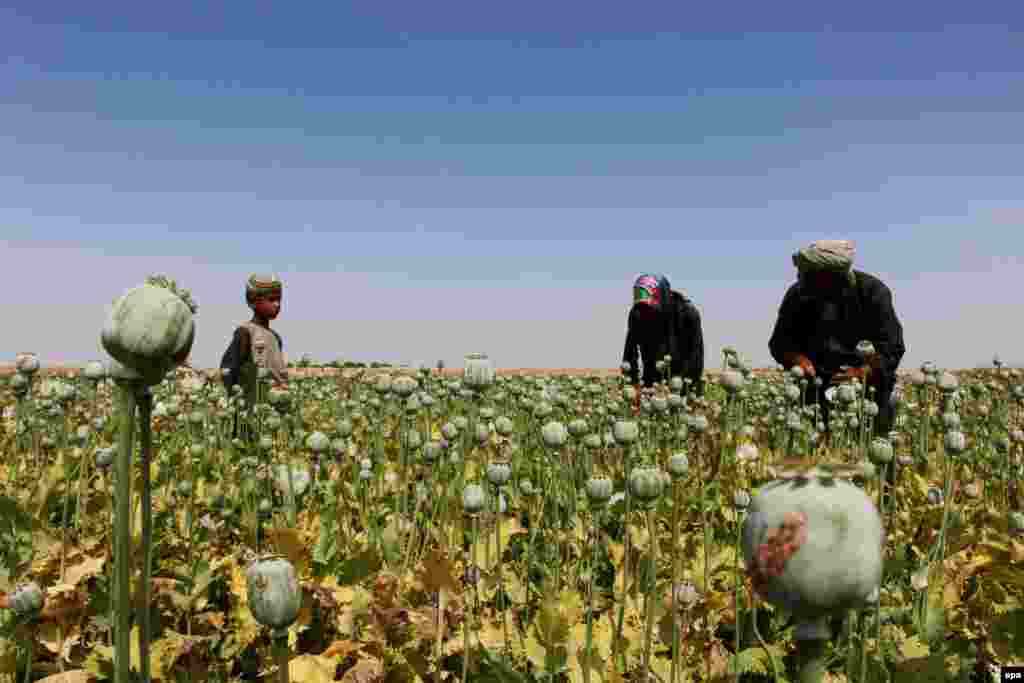 Afghan farmers extract raw opium to be processed into heroin at a poppy field in Helmand. (epa/Watan Yar)