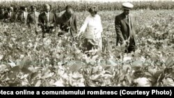 Brăila era una dintre zonele agricole importante vizate de sistematizare. Liderii comuniști vizitând tarlalele CAP-ului Tudor Vladimirescu (7.IX.1978). Fototeca online a comunismului românesc, cota:291/1978