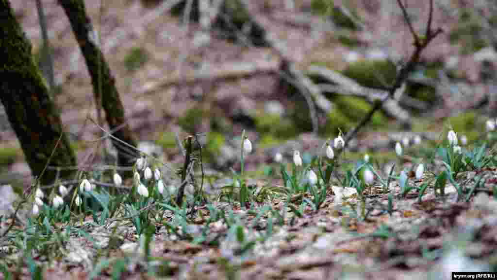 На поверхні однієї з горизонтальних брил на лісовій підстилці цвітуть проліски