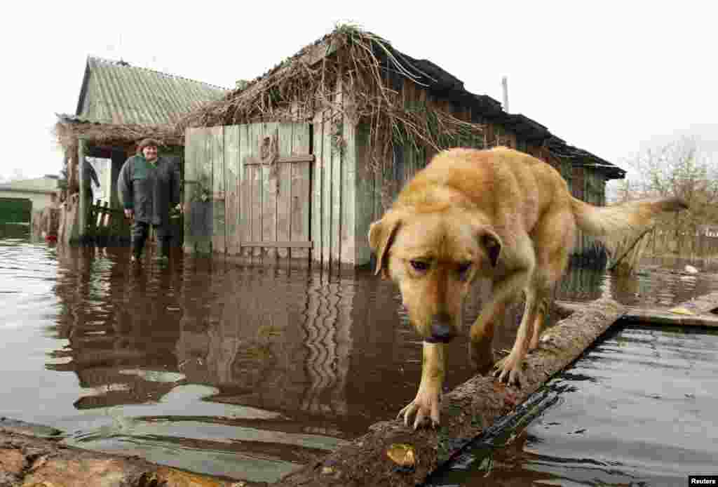 A dog and a woman are seen in a flooded courtyard as water from the Prypyat River overflows its banks during spring flooding in the village of Khlupin, Belarus, on April 15. (AFP/Viktor Drachev)