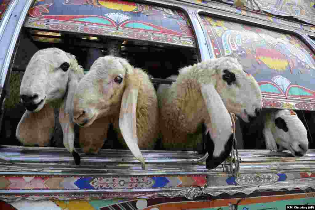 Pakistani vendors carry animals in a bus for the upcoming Muslim festival of Eid al-Adha in Lahore, Pakistan. Eid al-Adha, or the Feast of Sacrifice, is the most important Islamic holiday and marks the willingness of the Prophet Ibrahim to sacrifice his son. (AP/K.M. Chaudhry)