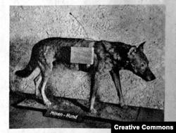 Чучело «противотанковой» собаки.