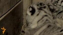 أخبار مصوّرة 20/11/2013: من اليوم العالمي للأطفال إلى النمور البنغالية ولدوا في حديقة حيوان في تبليسي