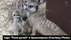 Сурикаты с детенышами в зоопарке Красноярска