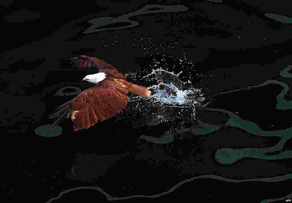 A Brahminy kite (Haliastur indus) swoops down on prey in the sea inside a wildlife enclosure along Manila Bay in the Philippines. The Brahminy kite has a pure white head and chest and feeds on carrion, insects, reptiles, amphibians, crustaceans, and fish. It can be found in India, Pakistan, China, Bangladesh, and southeast Asia. (AFP/Ted Aljibe)