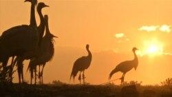 Afghan Crane Hunter Snares Spring Bounty