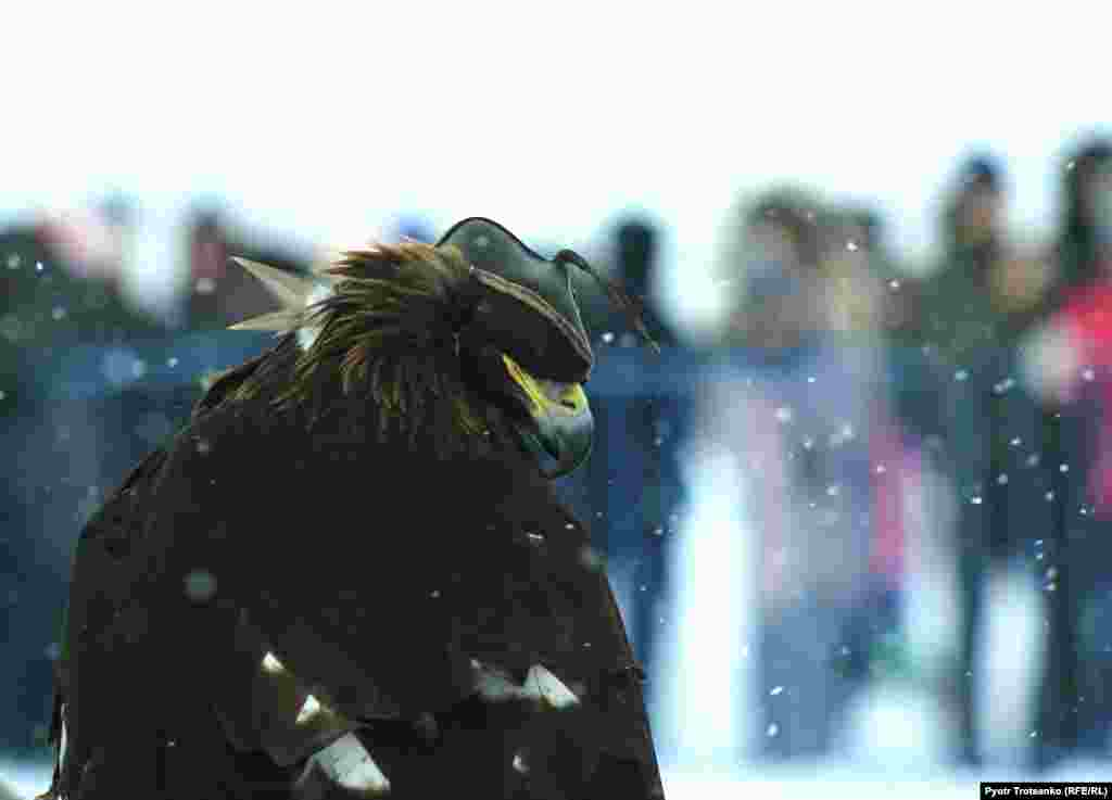 A golden eagle wears a hood before the competition.