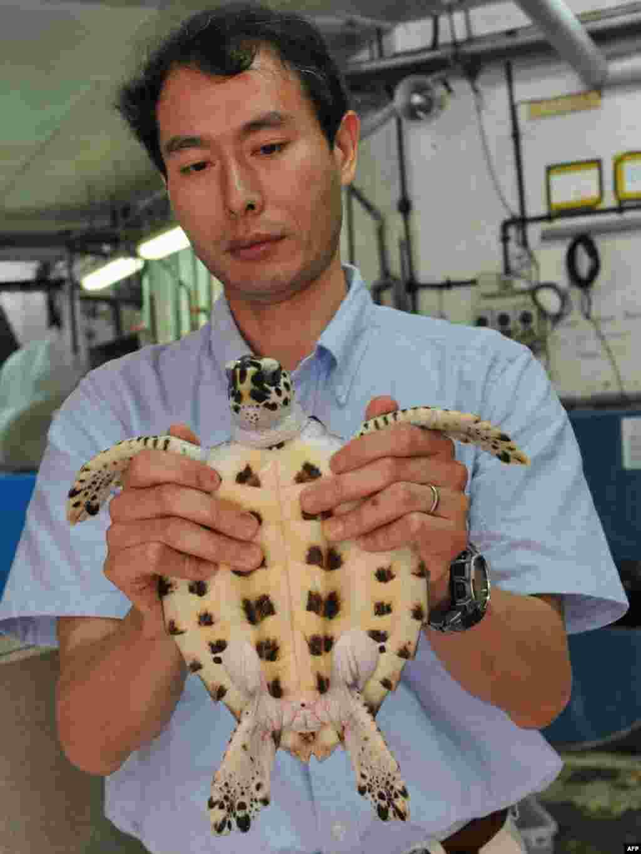 Сынгапур: японскі навуковец Тамомі Саіта зьбіраецца выпусьціць чарапаху, да якой прымацаваны датчык для адсочваньня яе перасоўваньня з касьмічнага спадарожніка.