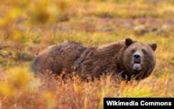 Alyaska, qrizli ayısı