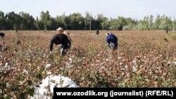 С первых дней сентября 2015 года студенты многих ВУЗов в Узбекистане находятся на хлопковых полях.