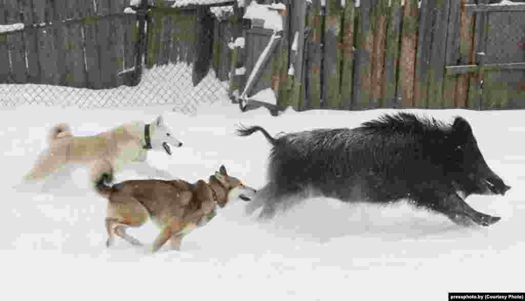 Husky dogs hunting a boar by photographer Alyaksey Matsyushkou.