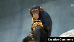У шимпанзе гораздо больше общего с человеком, чем считалось раньше