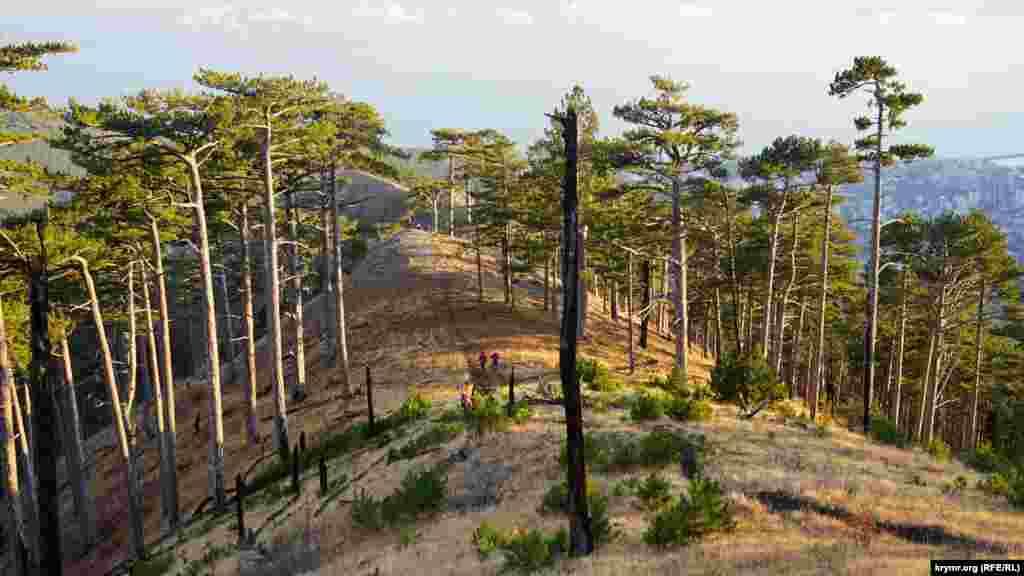 На Балан-Кая от прошлогоднего пожара пострадало только несколько сосен