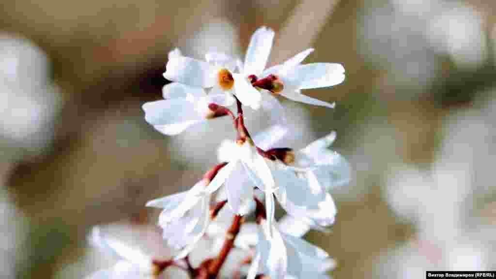 Білосніжні квіти чагарнику