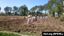 آرشیف یک زمین زراعتی کشت کچالو در بامیان