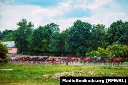 Коні повертаються зі щоденного випасу до загону
