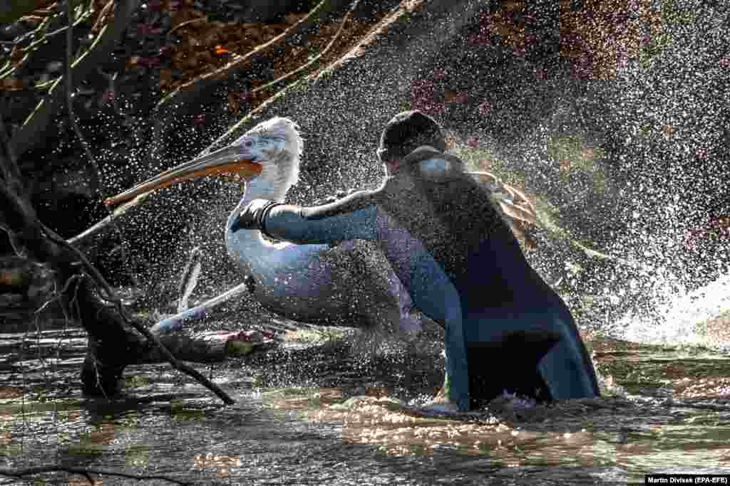 A zookeeper catches a pelican to move it to its winter enclosure at a zoo in Dvur Kralove in the Czech Republic. (EPA-EFE/Martin Divisek)​